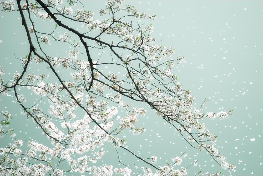 おぼろ桜_e0031502_13324116.jpg