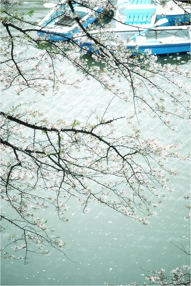 おぼろ桜_e0031502_13325623.jpg