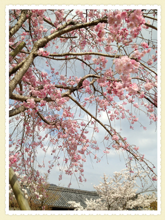 cherry blossoms*_c0166506_2228153.png