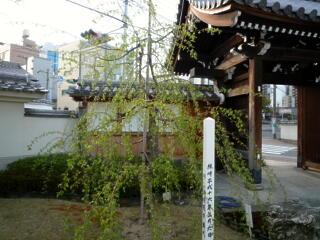2013 しだれ桜プロジェクト 【4月1日】_c0170415_6593045.jpg