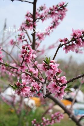 うきは百姓組桃の花見会その一。_c0127029_17592984.jpg