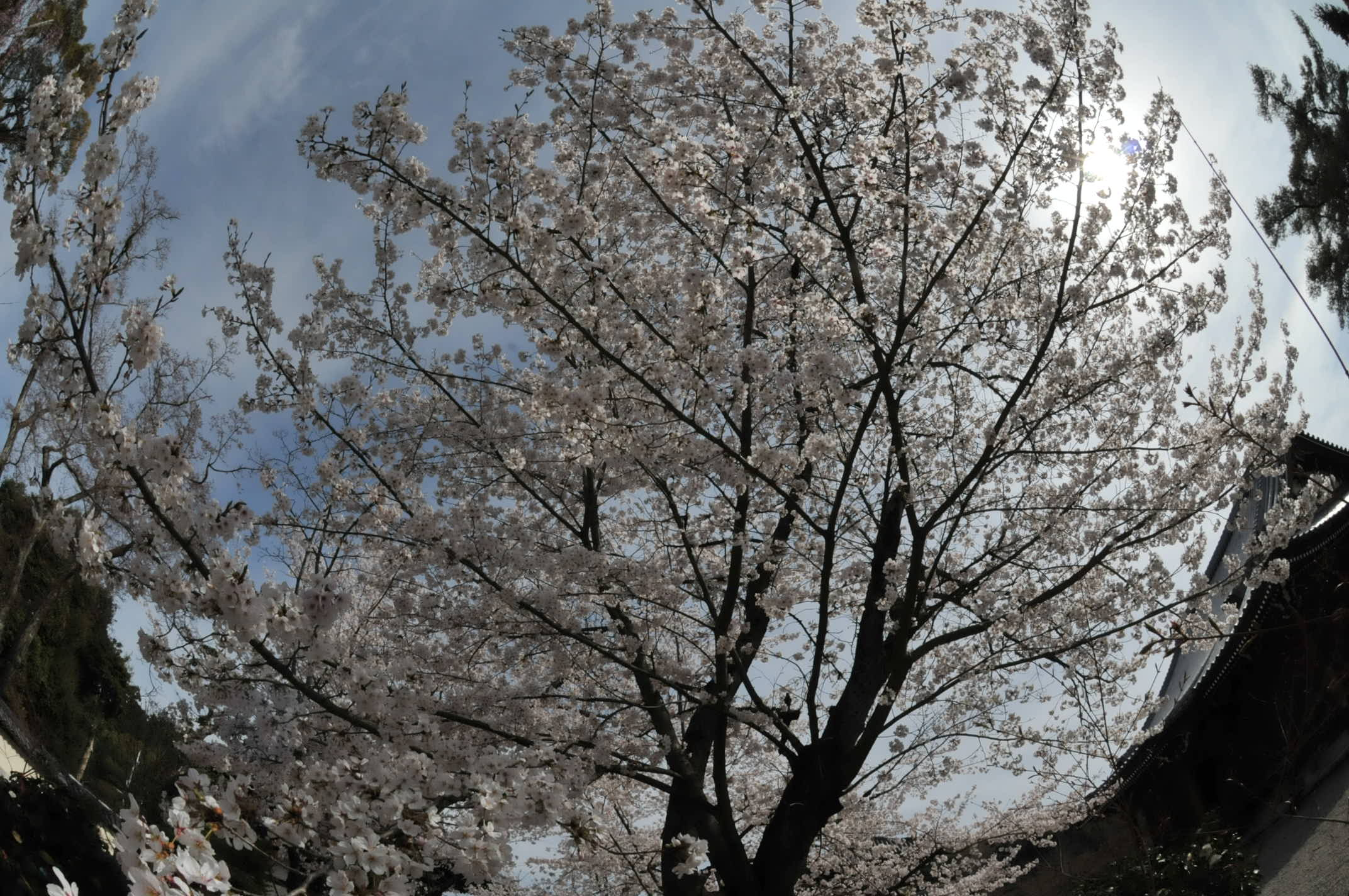 桜満開 DX-Fisheye NIKKOR 10.5mm/2.8_d0138130_15515251.jpg