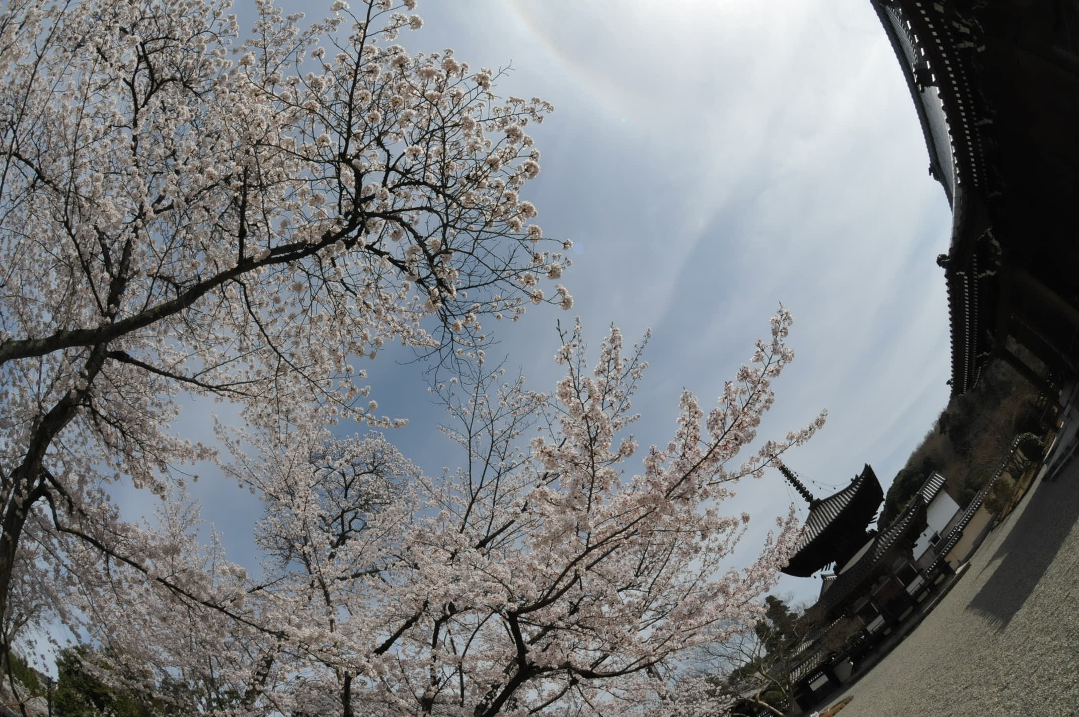 桜満開 DX-Fisheye NIKKOR 10.5mm/2.8_d0138130_1552870.jpg
