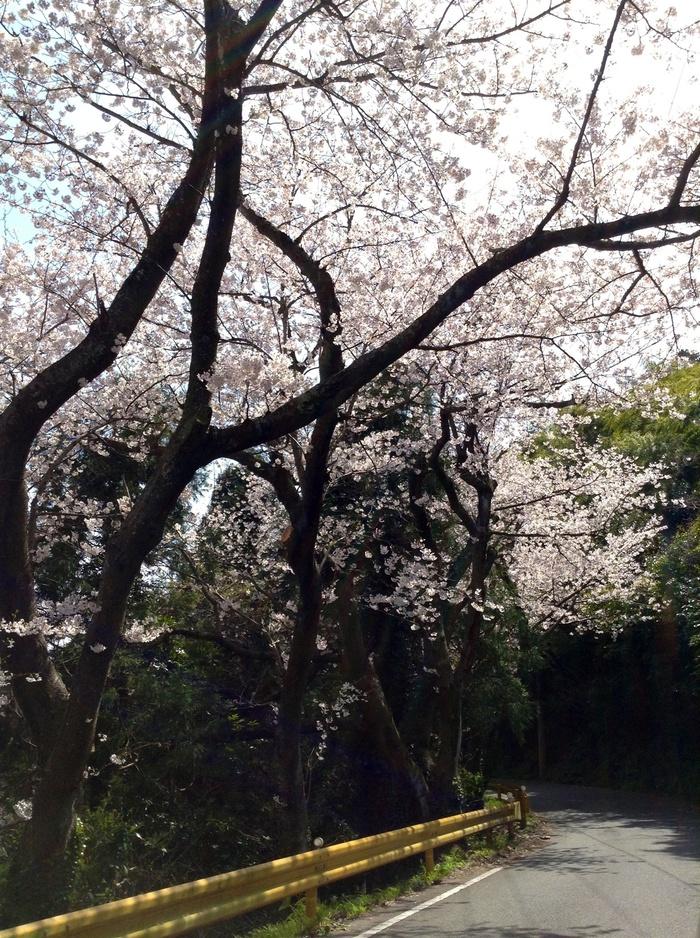 五条の千本桜_f0183846_2241833.jpg