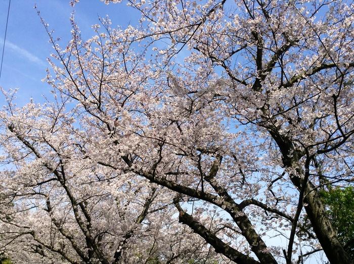 五条の千本桜_f0183846_229152.jpg