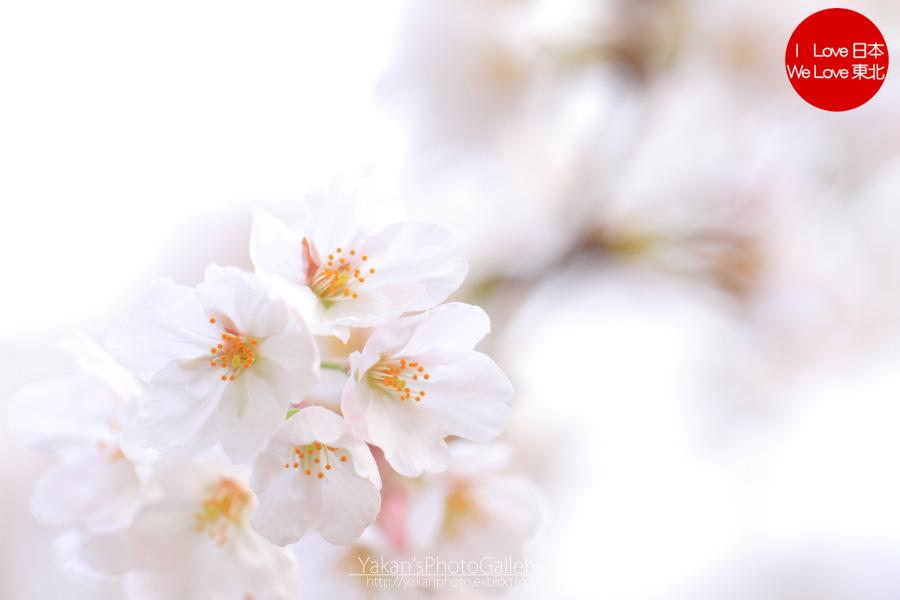 桜(富山市) ~2013~_b0157849_17281880.jpg