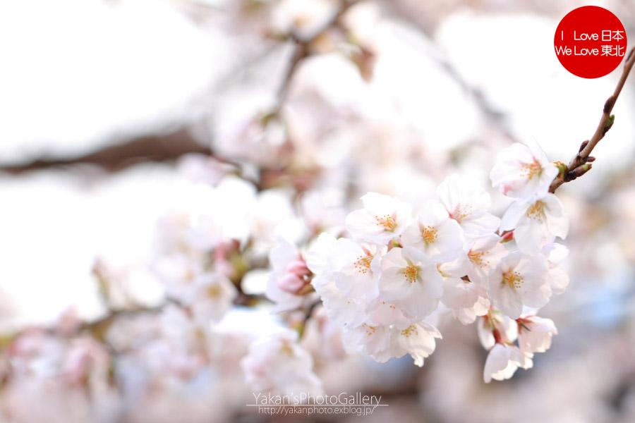 桜(富山市) ~2013~_b0157849_1728328.jpg