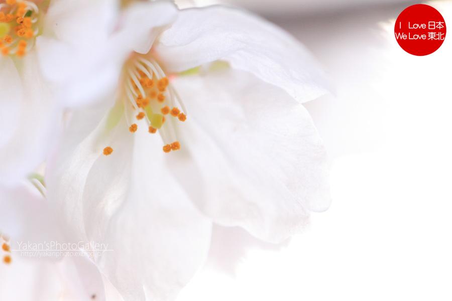 桜(富山市) ~2013~_b0157849_17283422.jpg
