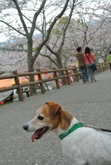 桜_d0143957_1658359.jpg