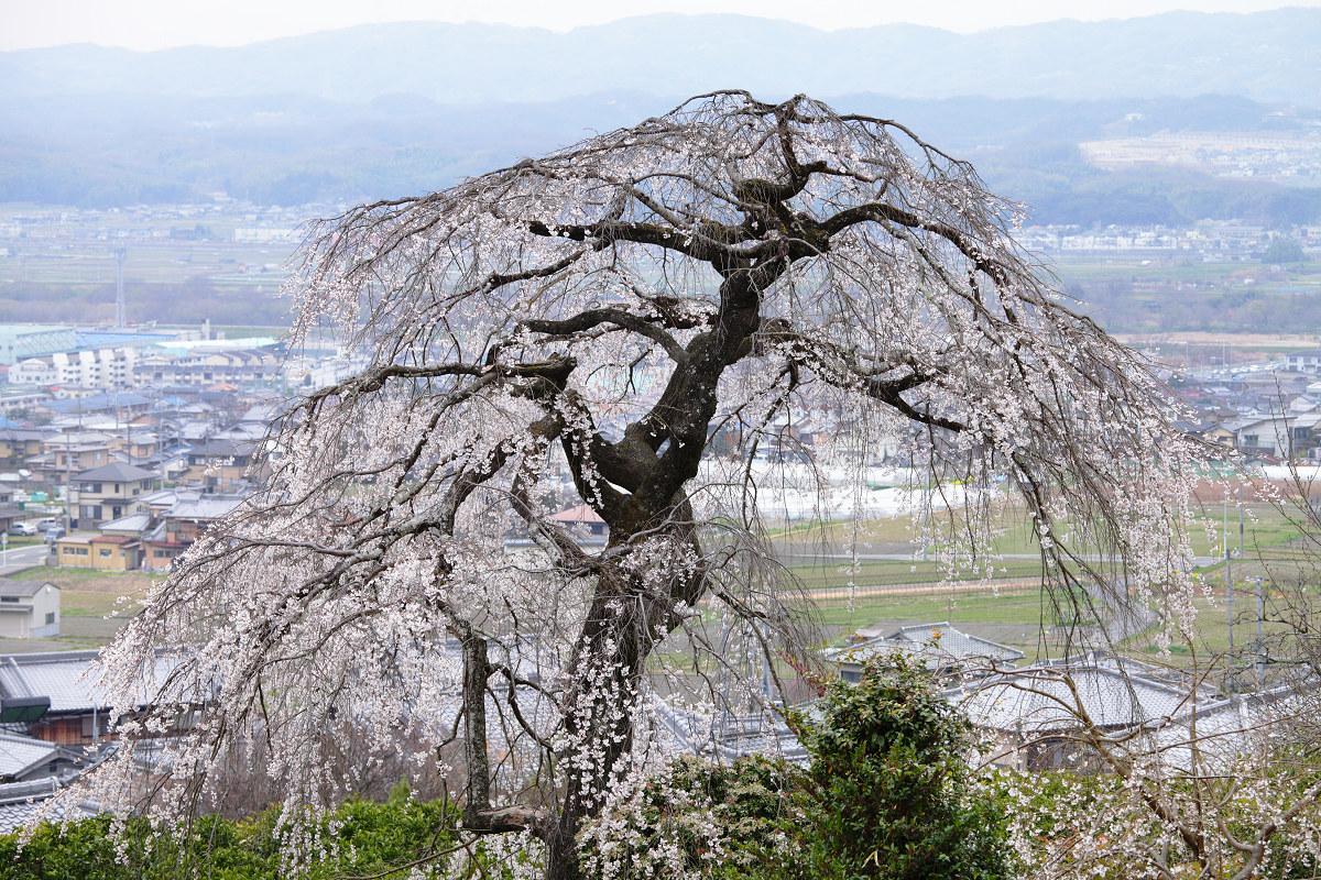 桜 2013 <京都 地蔵禅院> _f0021869_23401089.jpg