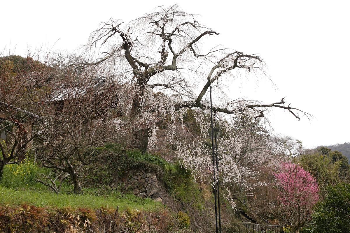 桜 2013 <京都 地蔵禅院> _f0021869_23405464.jpg