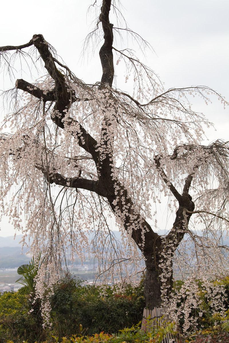 桜 2013 <京都 地蔵禅院> _f0021869_23411379.jpg