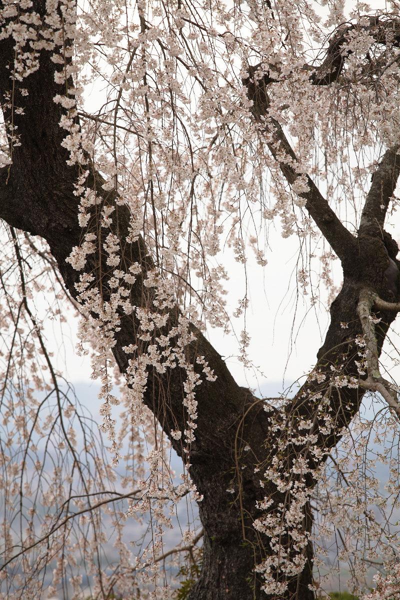 桜 2013 <京都 地蔵禅院> _f0021869_23412147.jpg