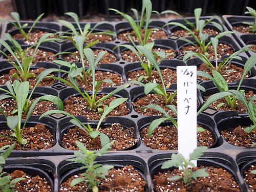 八丈島農園でお花の苗も作っています_e0097770_2316171.jpg