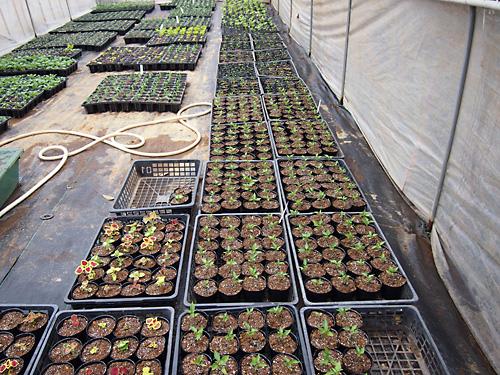 八丈島農園でお花の苗も作っています_e0097770_23173528.jpg