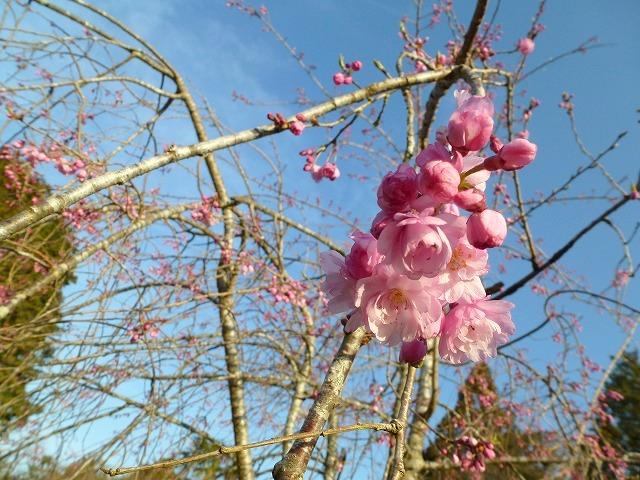 桜咲く~♫_c0165589_741915.jpg