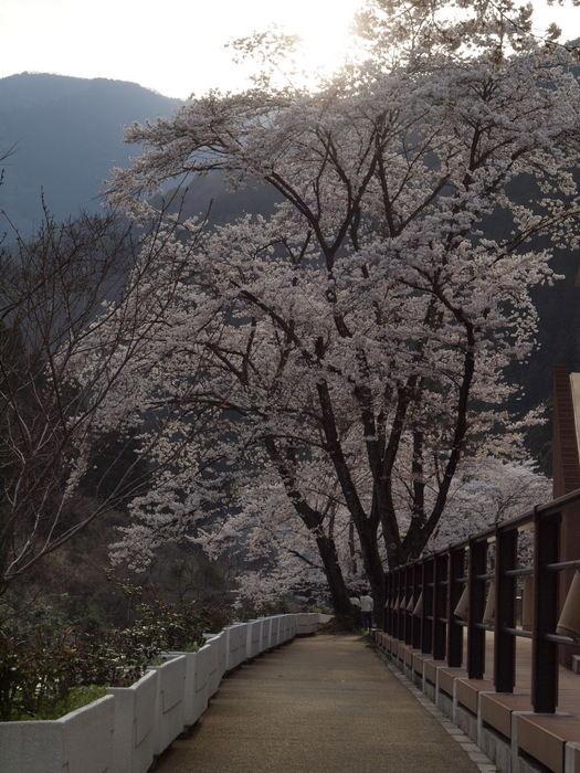 湯来ロッジ周辺の桜_c0116915_23113092.jpg