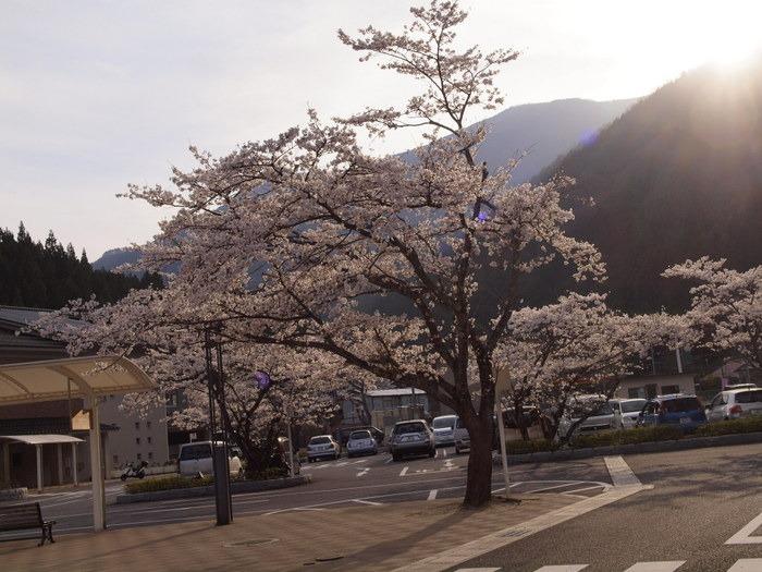 湯来ロッジ周辺の桜_c0116915_2311562.jpg