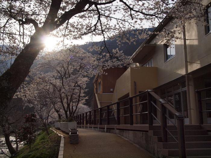 湯来ロッジ周辺の桜_c0116915_23121151.jpg