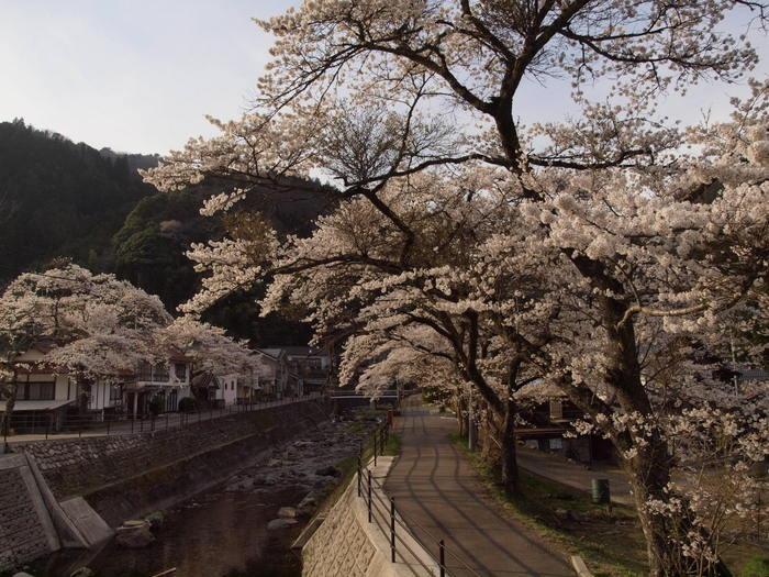 湯来ロッジ周辺の桜_c0116915_23145912.jpg