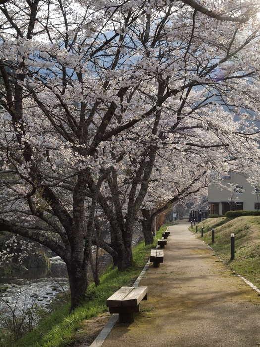 湯来ロッジ周辺の桜_c0116915_239361.jpg