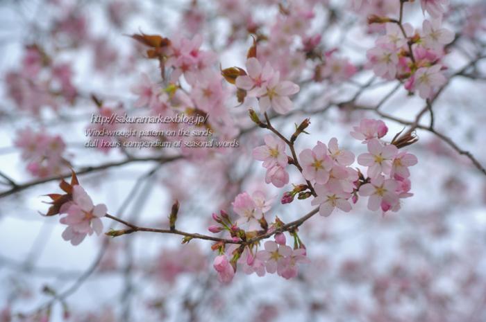SAKURA 2013 ~遅咲きの春~_f0235723_19404392.jpg