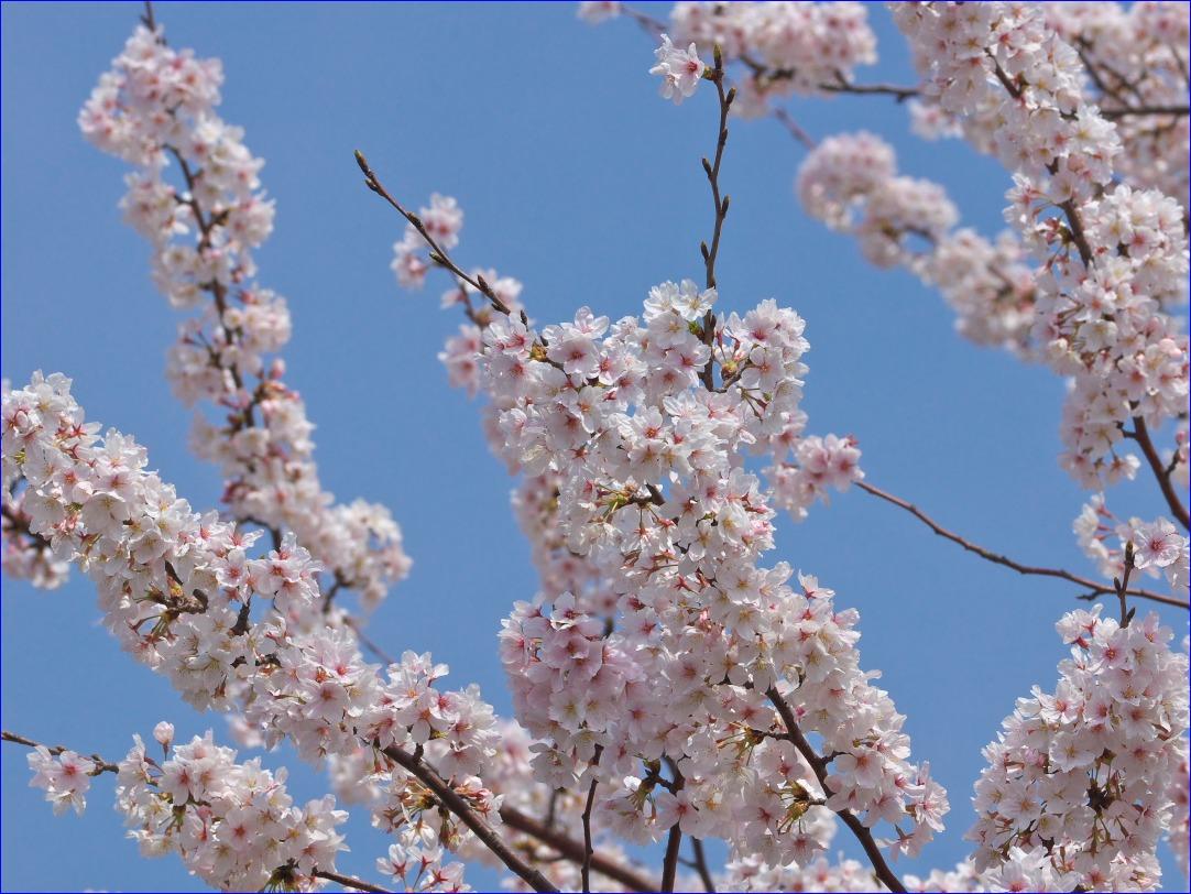 今年最後の(?)桜ネタ_d0137627_2214574.jpg