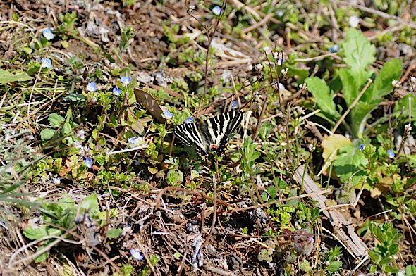 過去の蝶から−−ギフチョウ2012年(2013年4月3日) _d0303129_23405141.jpg