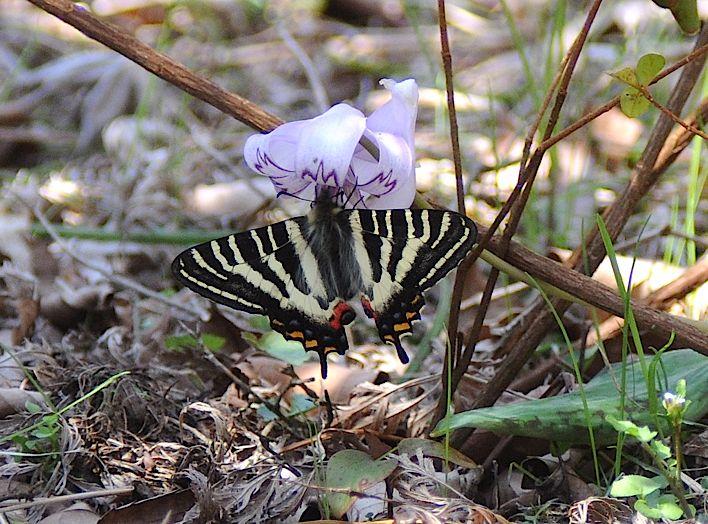 過去の蝶から−−ギフチョウ2012年(2013年4月3日) _d0303129_23412258.jpg