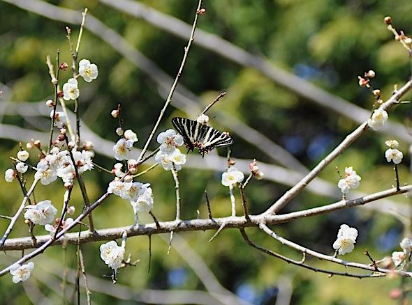 過去の蝶から−−ギフチョウ2012年(2013年4月3日) _d0303129_23413698.jpg