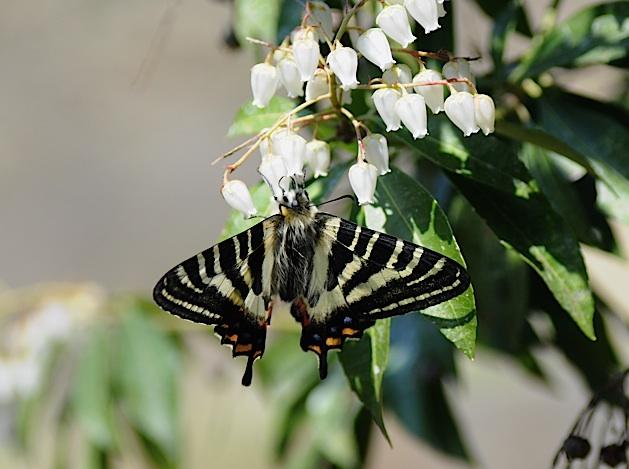 過去の蝶から−−ギフチョウ2012年(2013年4月3日) _d0303129_23414960.jpg