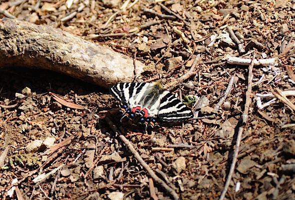過去の蝶から−−ギフチョウ2012年(2013年4月3日) _d0303129_2341829.jpg