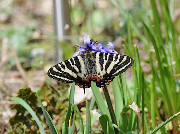 過去の蝶から−−ギフチョウ2012年(2013年4月3日) _d0303129_23422615.jpg