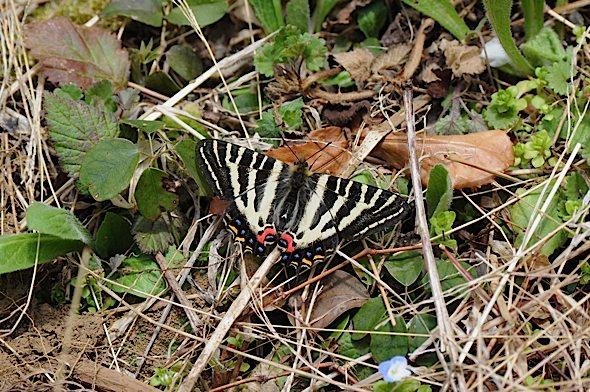 過去の蝶から−−ギフチョウ2012年(2013年4月3日) _d0303129_2342364.jpg