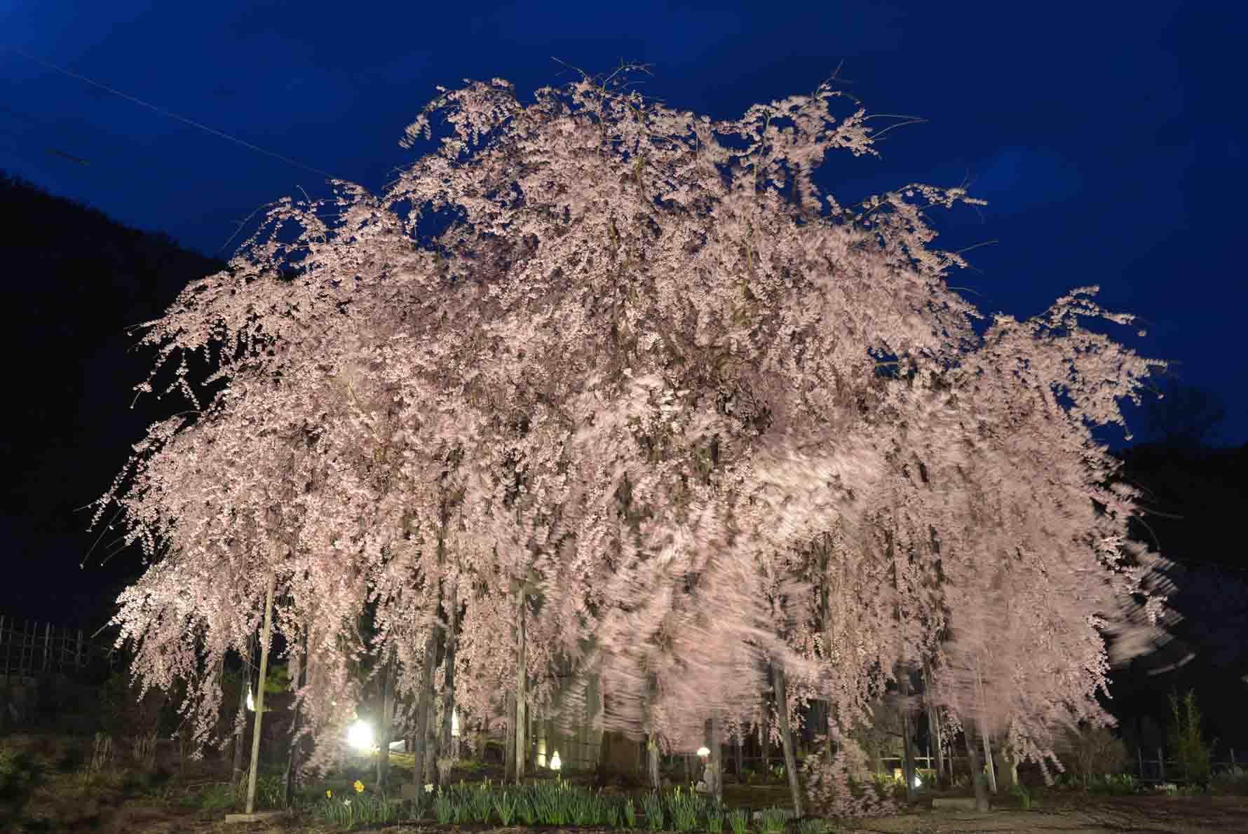 香川のさくら ④ー3_d0246136_2311911.jpg