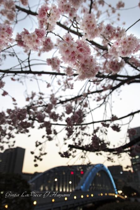 花のある風景 早咲き桜 大寒桜と永代橋_b0133053_5261835.jpg