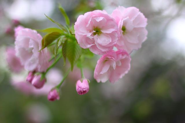 さくら・サクラ・桜_d0251171_2014221.jpg
