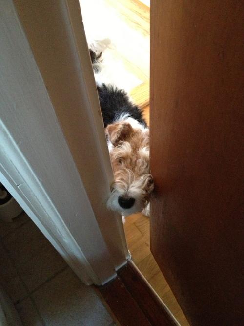 Very Fox Terrier! めっちゃフォックステリア_a0229904_192668.jpg