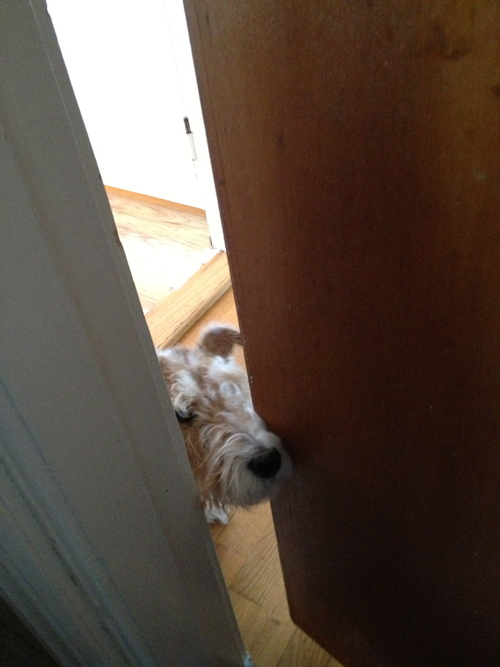 Very Fox Terrier! めっちゃフォックステリア_a0229904_194368.jpg