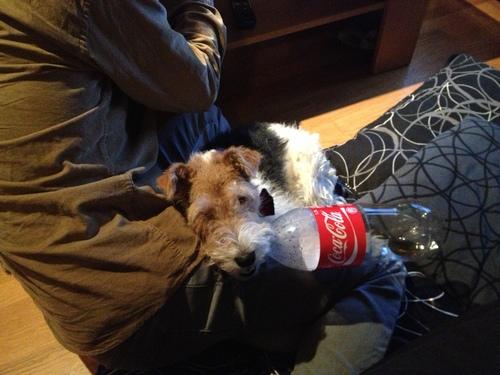 Very Fox Terrier! めっちゃフォックステリア_a0229904_22123732.jpg