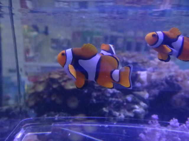 130403 海水魚・サンゴ・侘び草・水草・淡水魚_f0189122_12351225.jpg