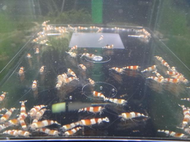 130403 海水魚・サンゴ・侘び草・水草・淡水魚_f0189122_12433263.jpg