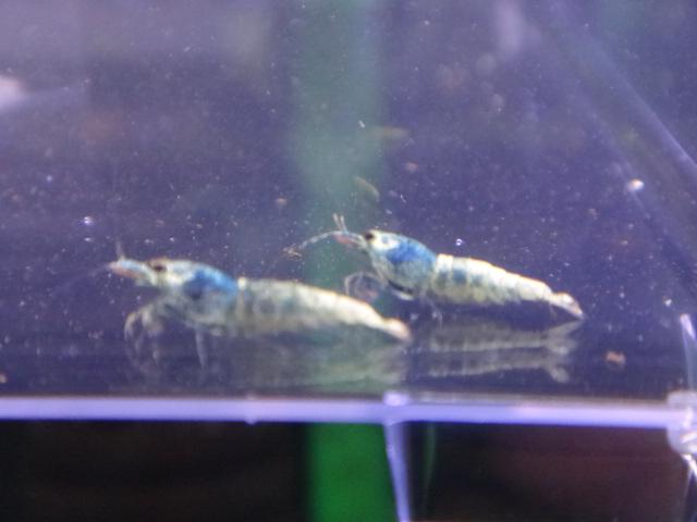 130403 海水魚・サンゴ・侘び草・水草・淡水魚_f0189122_12445279.jpg