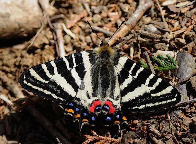 過去の蝶から−−ギフチョウ2012年(2013年4月3日) _d0303129_442643.jpg