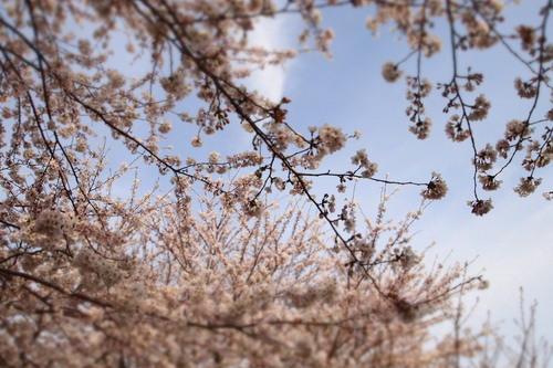 カンナちゃん 初お花見。_c0148232_19405171.jpg