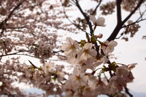 カンナちゃん 初お花見。_c0148232_1941137.jpg