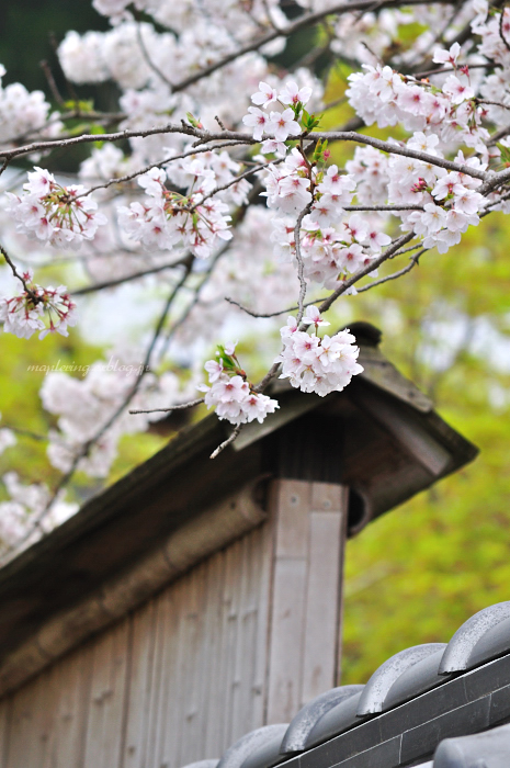 3周年 & 桜_f0234062_2247191.jpg
