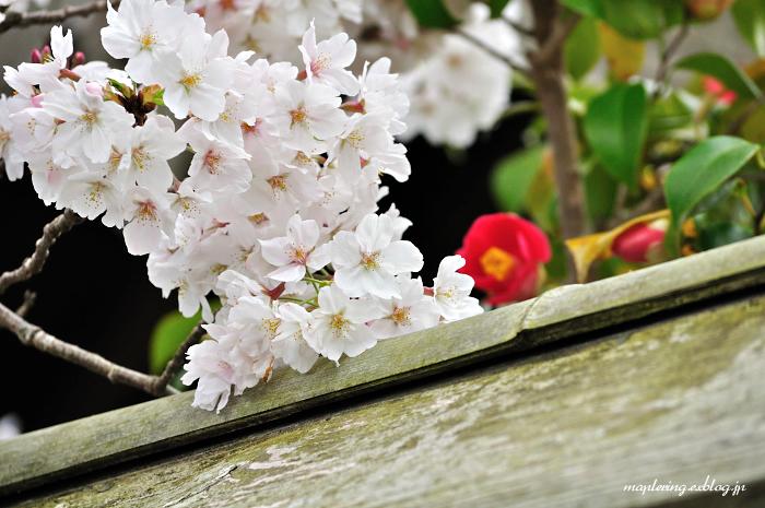 3周年 & 桜_f0234062_22472230.jpg