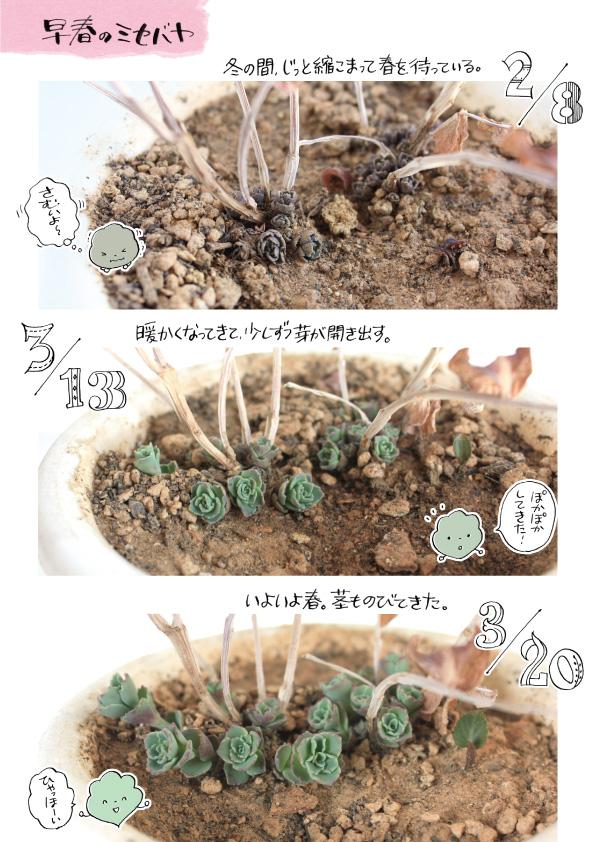 ミセバヤの芽。_d0272182_195136.jpg