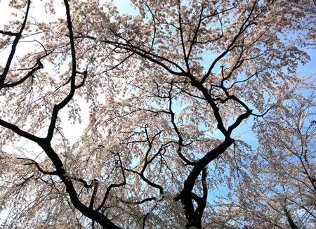 京都の桜はイイ感じな今週。_c0108595_23512766.jpg